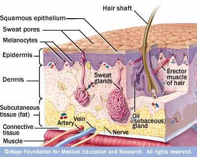 Anatomía de la piel - Mayo Clinic