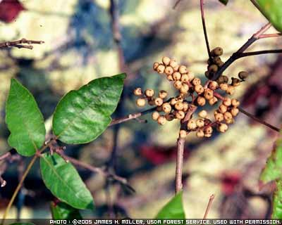 Photograph showing poison ivy plant with berries