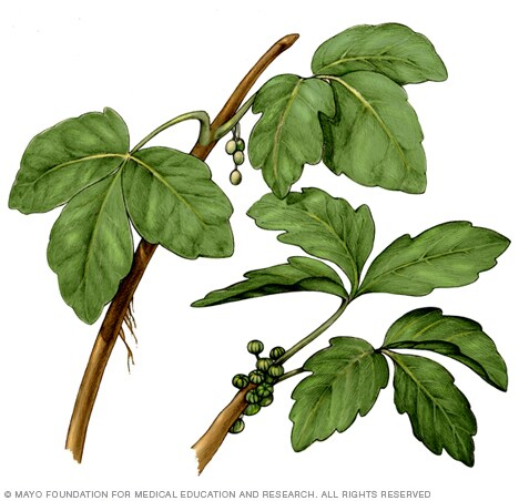 Illustration of poison ivy plant