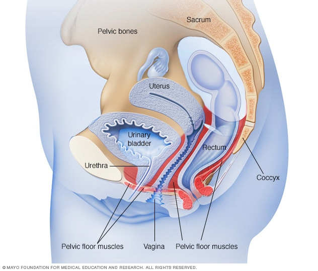 Pelvic floor muscles in a woman