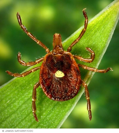 Photo of a Lone Star tick