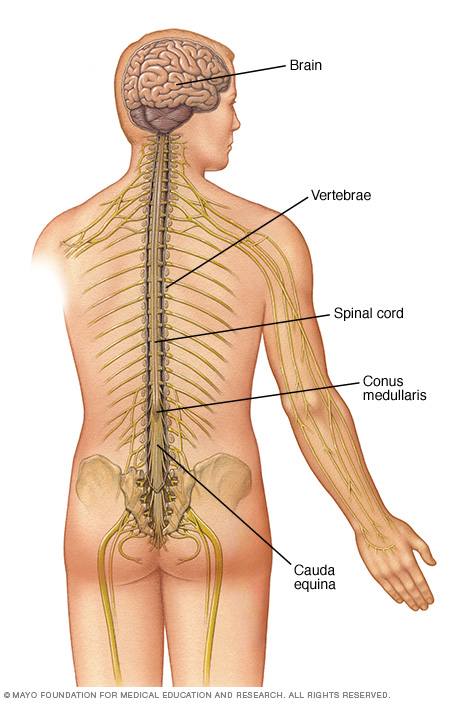 Illustration showing the anatomy of the central nervous system