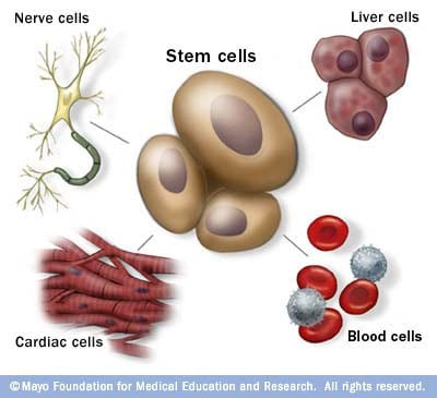Stem cells as the body's master cells