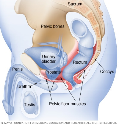 Location of pelvic floor muscles in a man