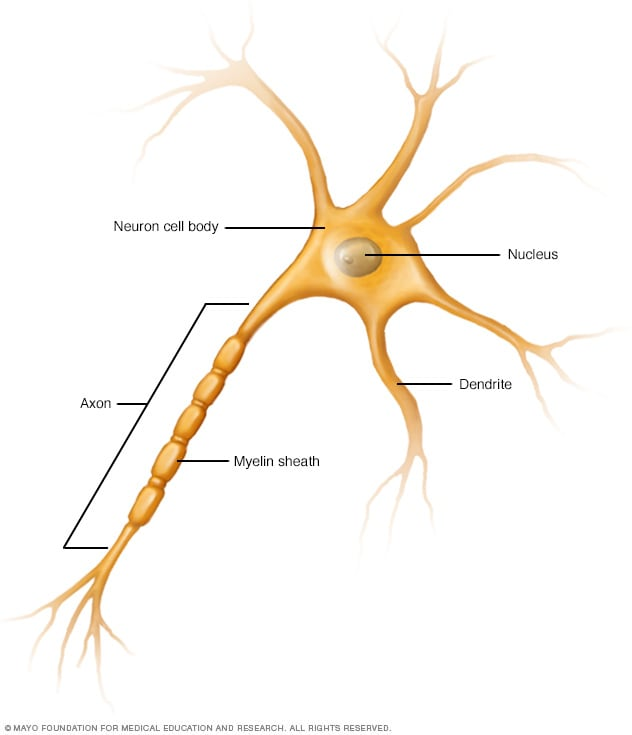 Nerve cells, showing axon and dendrites