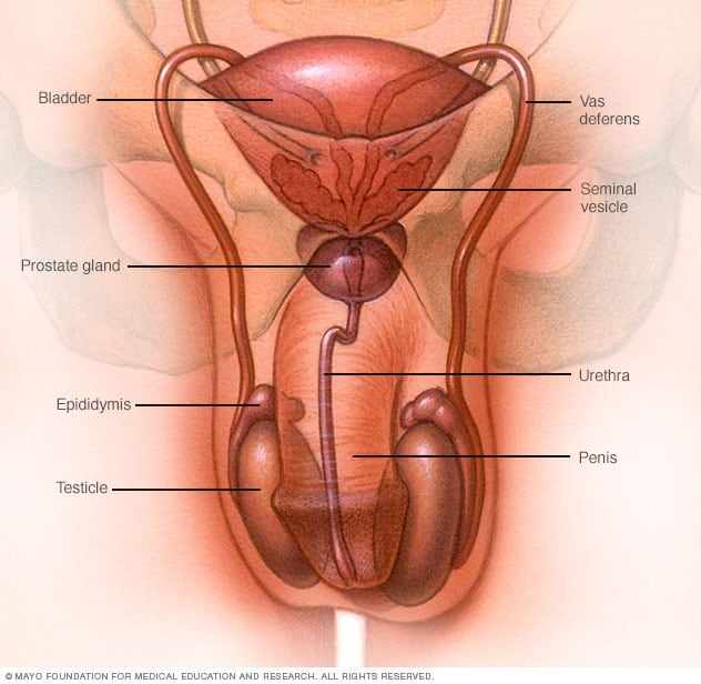 Male reproductive system - Mayo Clinic