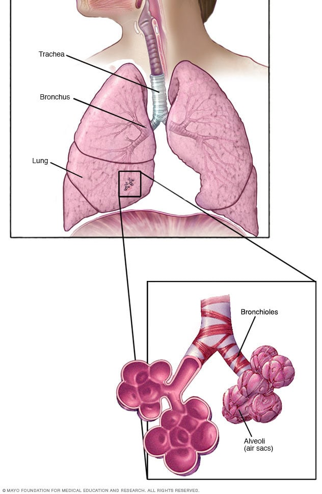 Bronchioles and alveoli in the lungs