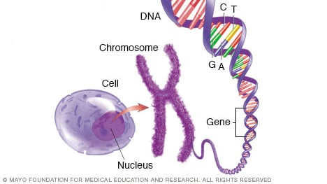 Illustration showing cell, chromosome, gene and DNA