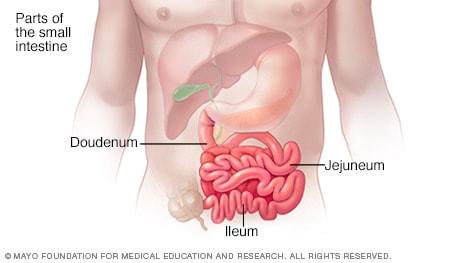 Illustration of small intestine