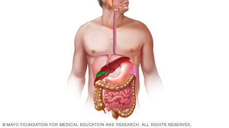 Illustration of digestive system