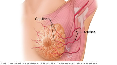 Arteries and capillaries in the breast