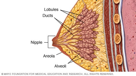 Lobules, ducts and other breast structures