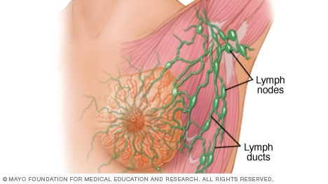 Lymph nodes and lymph ducts in the breast