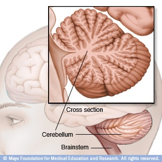 Illustration of cerebellum and brainstem
