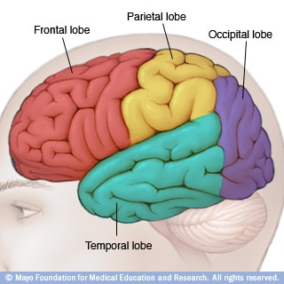 Illustration of brain lobes