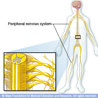 Illustration of how nerves run through the body