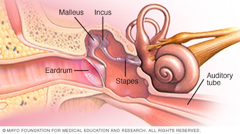 Parts of the middle ear