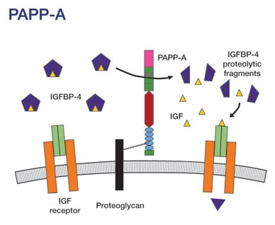Image of IGF present in a complex with IGFBP-4
