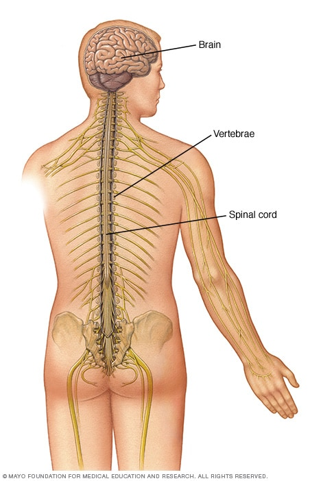 Spinal cord within spinal canal