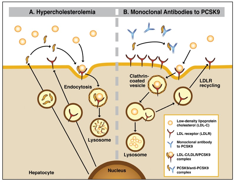 Hypercholesterolemia and monoclonal antibodies to PCSK9