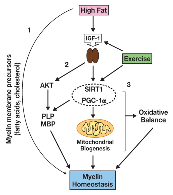 Dietary fat, exercise and myelin dynamics
