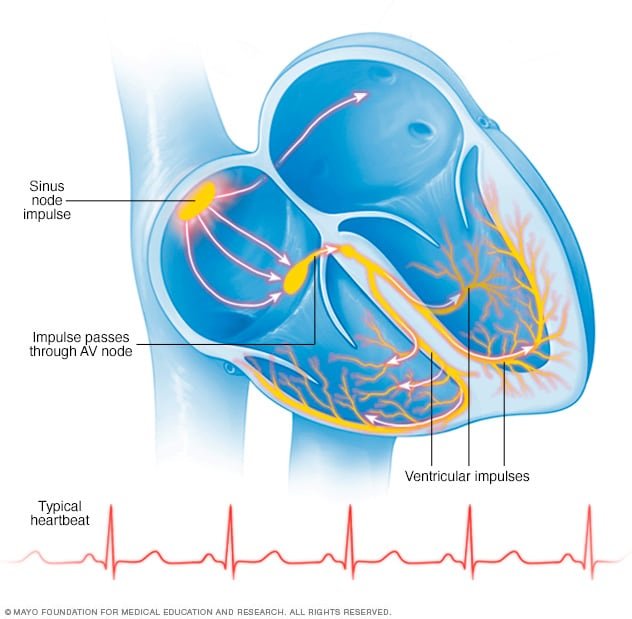 Illustration showing a normal heartbeat