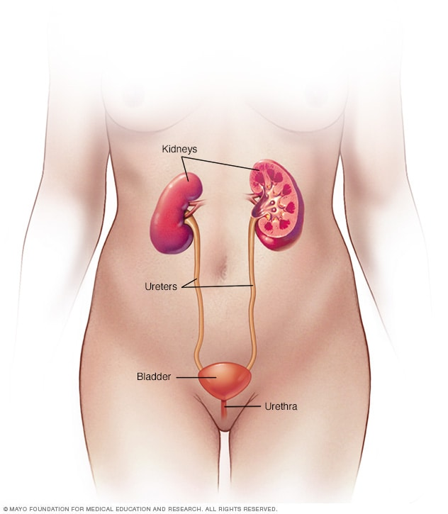Illustration showing female urinary system