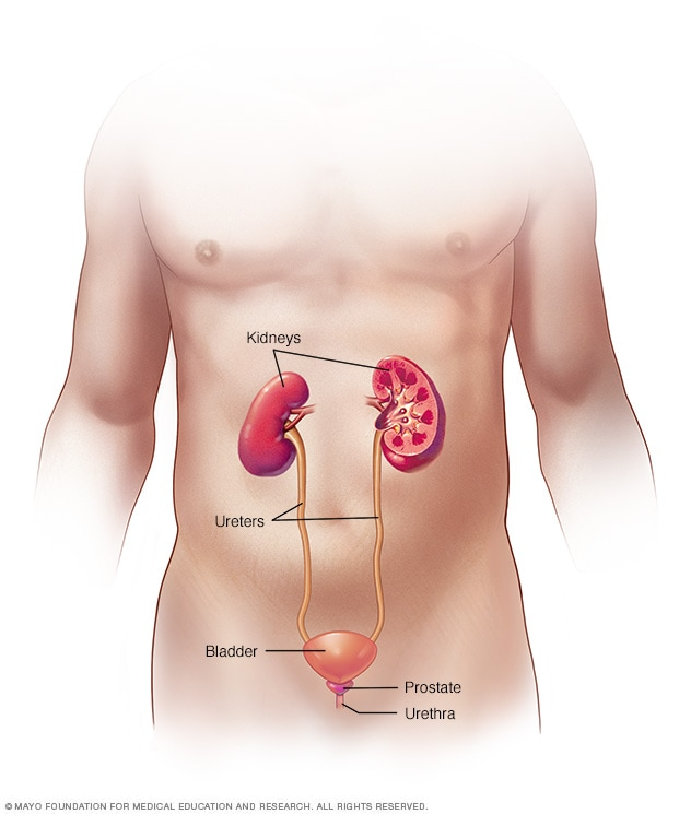 Illustration showing male urinary system