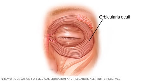 Illustration of the eyelid muscles