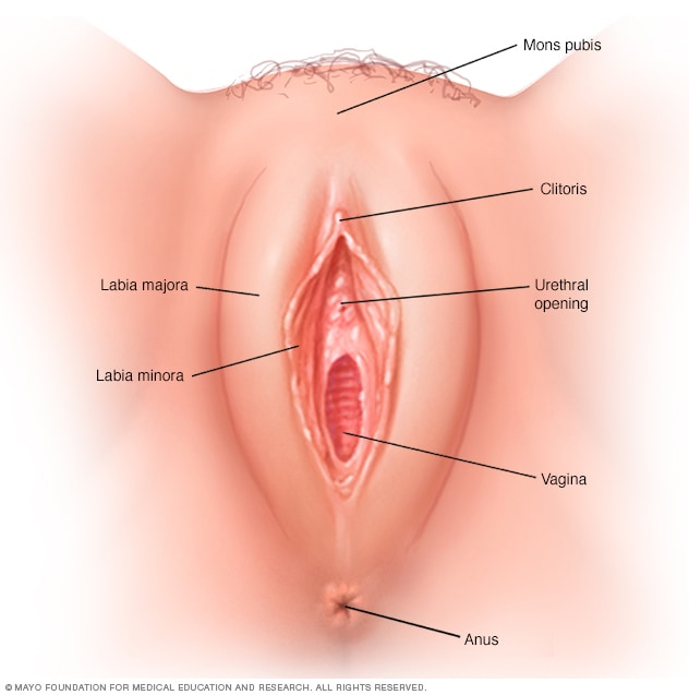 Illustration showing outer female genitalia (vulva)