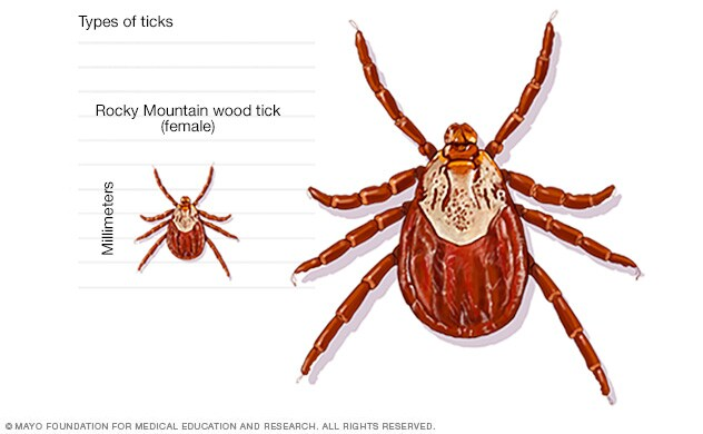 What To Give A Dog With Tick Fever