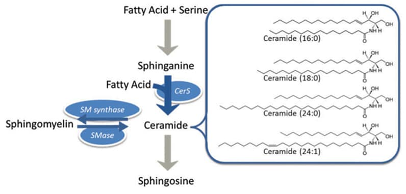 Ceramide synthesis