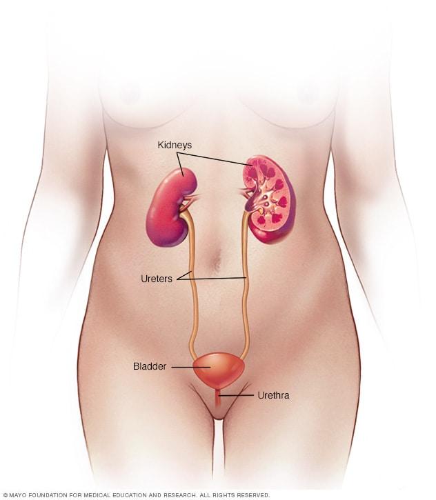 التهاب الجهاز البولي Uti الأعراض والأسباب Mayo Clinic مايو كلينك