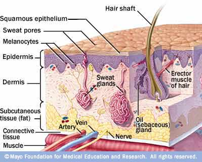 Illustration of anatomy of your skin, showing layers