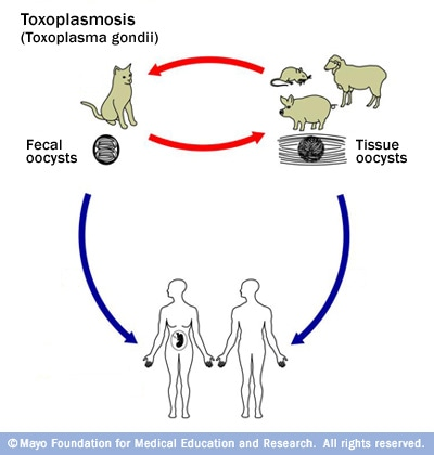 Illustration of toxoplasmosis life cycle