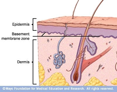 Illustration showing basement membrane zone
