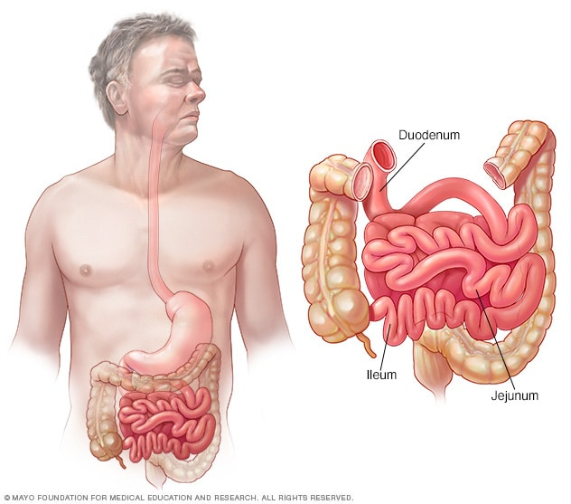 Illustration of small intestine — duodenum, jejunum and ileum.