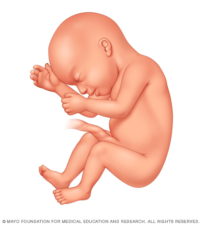 Illustration of fetus 23 weeks after conception