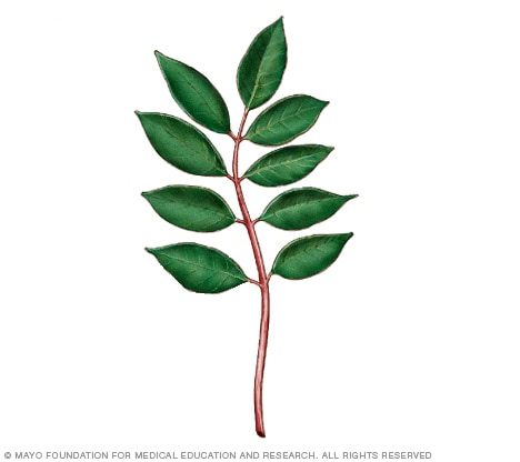 Illustration of poison sumac plant
