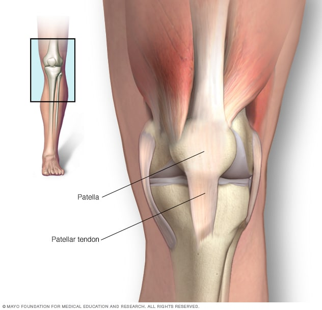 Illustration of knee showing patella and patellar tendon