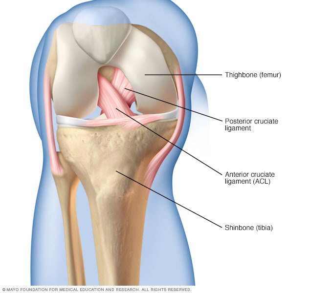 Illustration showing cruciate ligaments in the knee