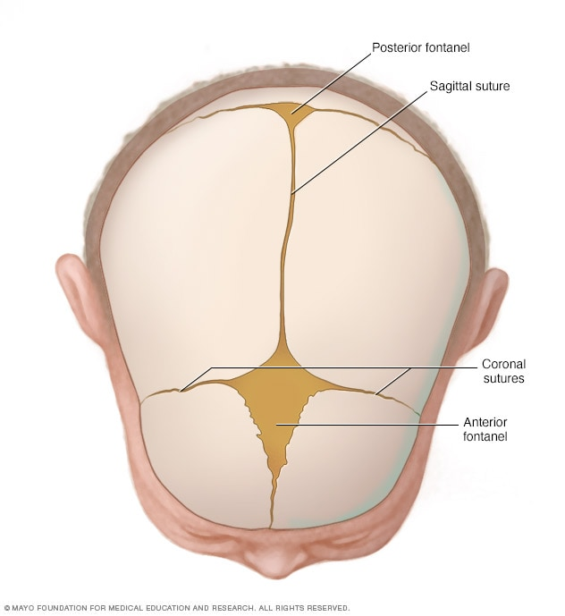 Illustration showing cranial sutures and fontanels
