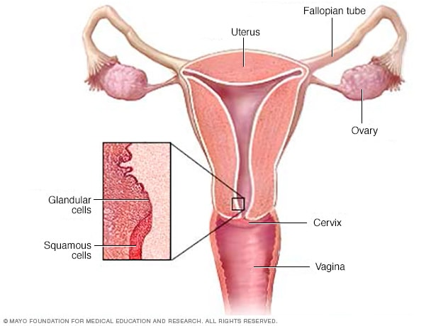 Illustration of cervix and squamous and glandular cells.