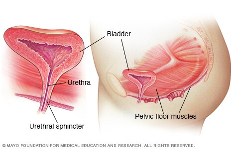 Illustration of urinary system, showing pelvic floor muscles
