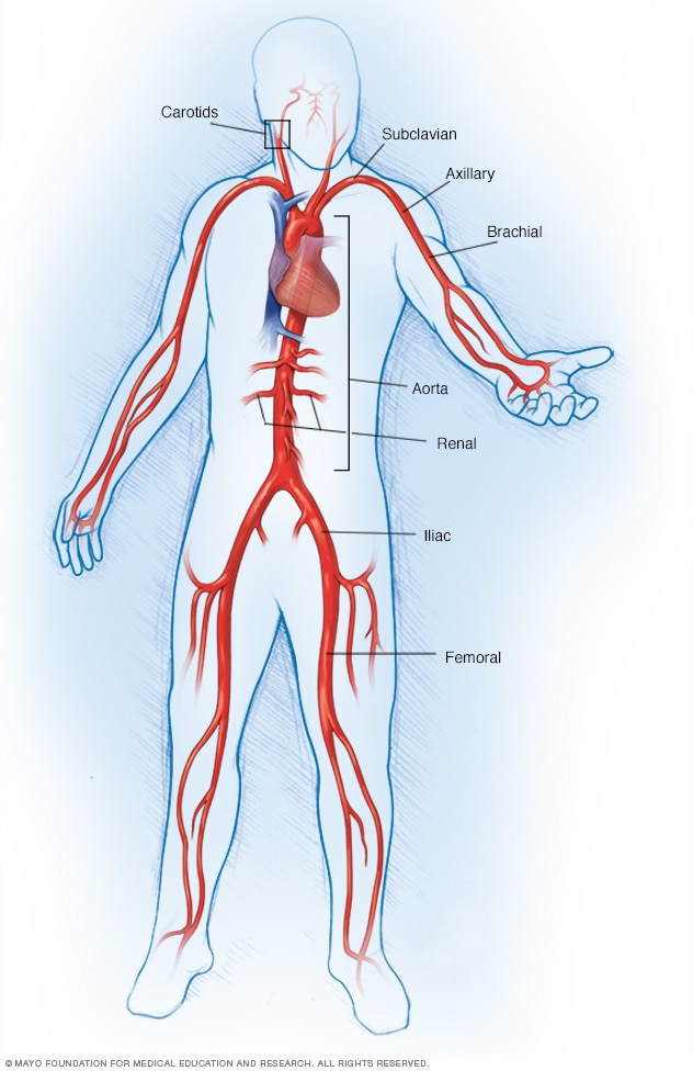 Illustration showing large arteries of the body