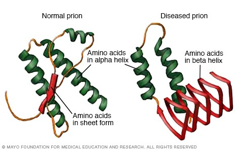 Illustrations comparing a normal prion with a diseased prion