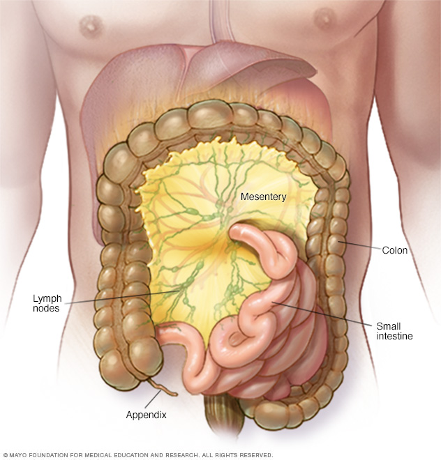 Illustration showing mesentery