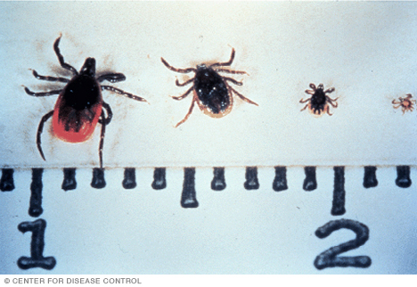 Photo of the deer tick