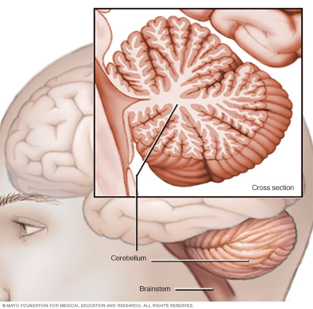 Illustration showing cerebellum and brainstem