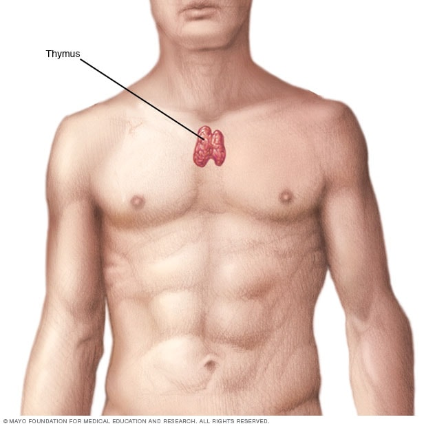 Thymus on where are your adrenal glands located
